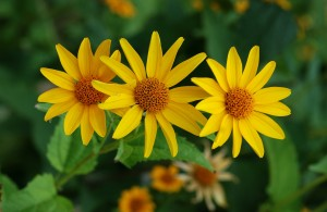 Earth Day - Heliopsis
